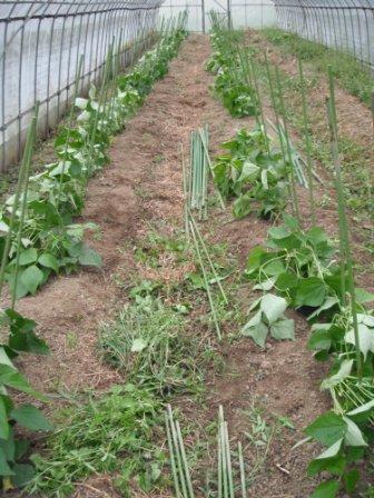 つる なし インゲン 栽培